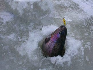 Duhák je nejčastější cílovou rybou při lovu na dirkách