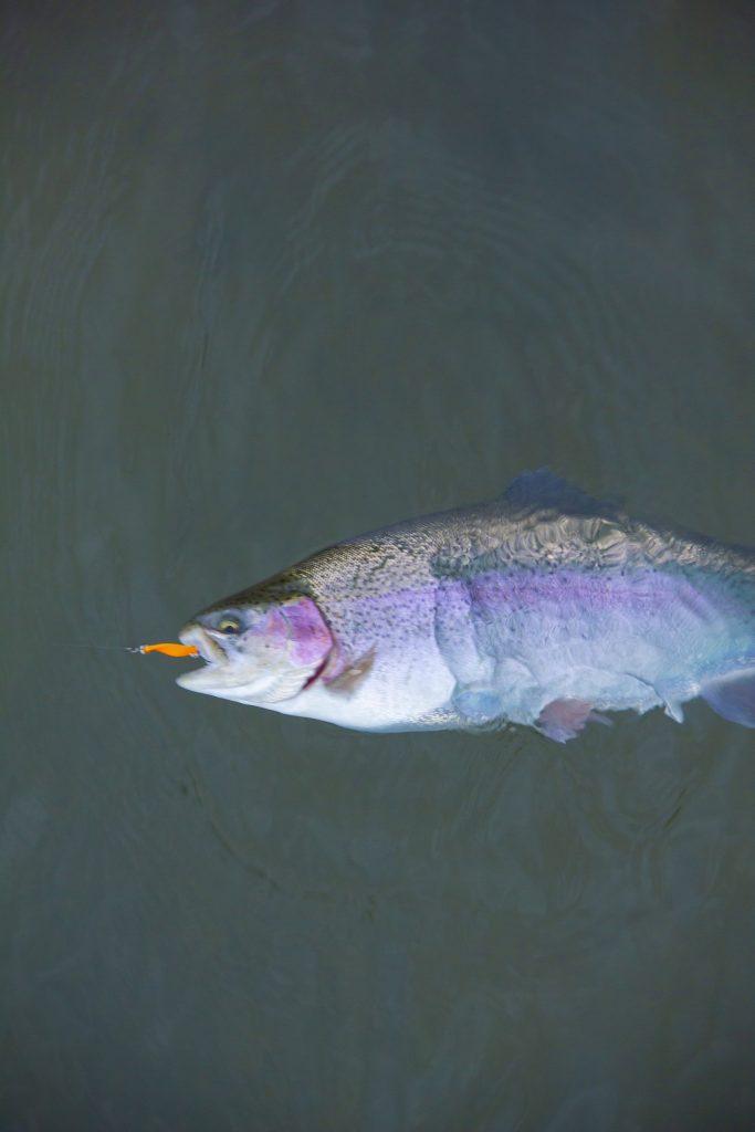 Tvrdé nástrahy jsou typické pro trout area závody