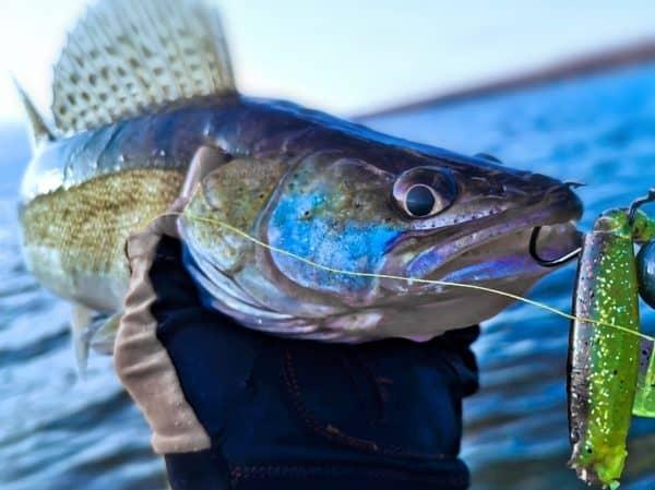 Candát je na Lipně legendární ryba