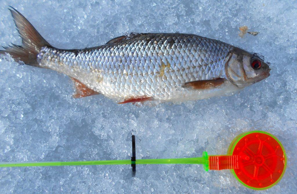 lov na dírkách je i na bílou rybu