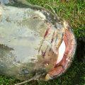 Lov sumců na játra je zajímavá alternativa nástražní rybě