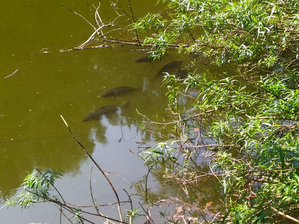 počasí na kapry a zakrmování na řece nebo lov kapra na malých vodách